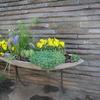 庭の花 パンジー いろいろ
