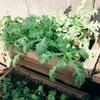 秋の野菜をプランターで育てる(春菊)