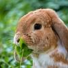 ウサギが妊娠を教えてくれた話。子宮腺筋症の漢方で自然妊娠
