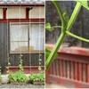 今朝の雨と中耕除草とゴーヤのツルと大豆の発芽とホウネンエビ