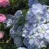 芒種、紫陽花変化。