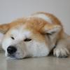 秋田・大館で『あいにいける秋田犬のの』に会いに行って来た!!
