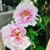 大輪の花が咲いてます🌼🌸✨