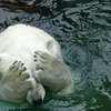 べあこ~坊っちゃん / 夏目漱石 北極熊子の場合