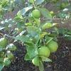 柚子の実が少し大きくなってきました。