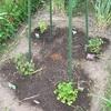 自然菜園 夏畝はじまりました