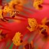 ハイビスカスの花粉