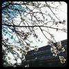 フランスで桜?┃アーモンドの花の時期がやってきました