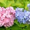 三室戸寺のハート紫陽花と雨。
