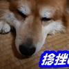 僕の片麻痺を真似して愛犬が捻挫してびっこひいてる