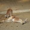 多摩動物公園 アカカンガルー