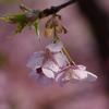 毎週見に行った「河津桜」