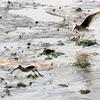 干潟に舞い降りる2羽のキアシシギ