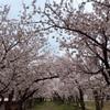 3758 雪桜と地震