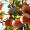 「柿」の実を収穫しました。