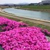 【三条市】『五十嵐川の芝桜』を見てきました♪