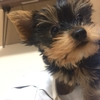 【同棲ブログ41】仔犬(ヨークシャーテリア)を飼い始めました