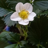 いちごのお花