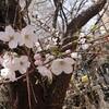 東京には数日前に開花宣言が出てる