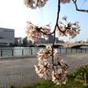 万代シティ付近の桜とFMポート、そしてカレー