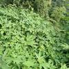植物世界の競争 その1 オオブタクサvsカナムグラ