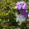 ニオイバンマツリの花と蕾