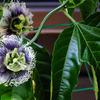 次々と・・・パッションフルーツの花