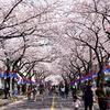 済州島(チェジュ島)桜祭り2018 #典農路 #長田里