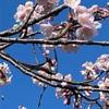 桜咲く!🌸ヨーグルトからレアチーズケーキとBillsのパンケーキ作り