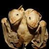 コウモリの結合双生児
