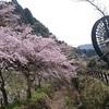 ここの桜は好き