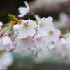 Nikon D90で桜撮り