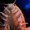 ダイオウグソクムシBathynomus giganteus