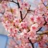 木場公園近く、大横川の河津桜を見てきました