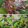 インドジャボク(印度蛇木)は南アジアで古くからの民間薬として利用されていました.強い神経毒性をもつ一方,この植物から単離されたレセルピンは降圧剤,抗精神病薬として用いられてきました.特に精神病の薬物治療の先駆けとなったことでよく知られています.キョウチクトウ科の花たち4
