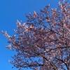 桜の開花宣言のお話。