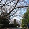 萩反射炉の桜