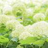 【撮影記】紫陽花が美しい!夏の「神戸市立森林植物園」をフォトウォークしてきた!
