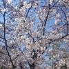 今年は桜の方から「さようなら」と言われたようなお花見でした