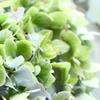 四季咲きアジサイ「霧島の恵」は色が良い!簡単フラワーアレンジご紹介!