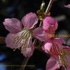 秋に咲く「ヒマラヤザクラ」 Prunus cerasoides