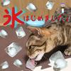 猫に氷!!初めての氷に興味深々。冷たさに驚愕!!