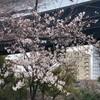 3月20日の桜・・・隅田公園(墨田区側)と浜町公園