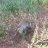 狐のお散歩日和