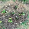 自然菜園をつくろう その3 苗を植える