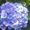 紫陽花 アルバム