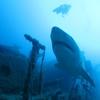 アメリカのニュージャージーサメ襲撃事件。ジョーズの元となった話。