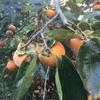 Kaki - 柿