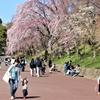 桜三昧 その1