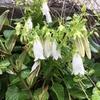共生、植物と人と生活と(大島に咲く花ーホタルブクロ・ハマゴウー)